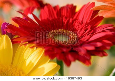 Red and yellow herbera bouquet