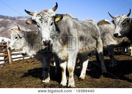 Grey Cows