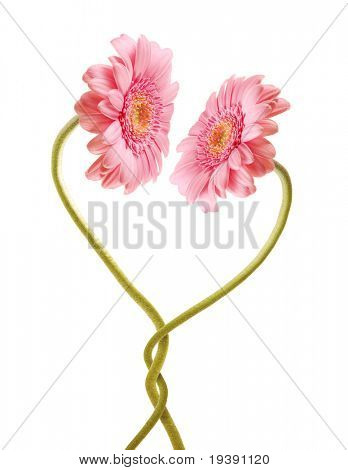 Two pink gerberas in love with each other