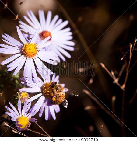 Honey Bee On Daisy In Autumn