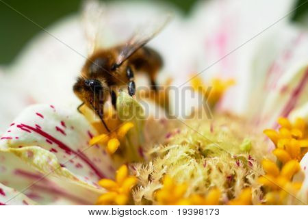 Bee on flower collects nectar, closeup macro shot.