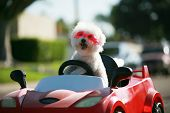 Happy Dog in car. Bichon Frise Dog wears Hot Pink Goggles and enjoys a ride in a pedal car. Fifi the poster