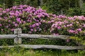 Rhododendron Blanket Rail Fence poster