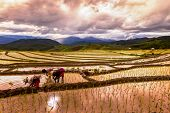 Rice Farmers Transplant In The Paddy Field On Rice Field Terraced In North Thailand, Mae Jam, Chiang poster