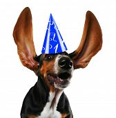 pic of basset hound  - a basset hound with long flapping ears - JPG