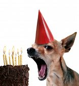 image of mexican-dog  - a chihuahua blowing out candles on a piece of cake - JPG