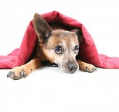stock photo of chihuahua mix  - a chihuahua mix dog under a red blanket - JPG