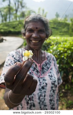 Tea Flower In Hand Of Traditional Tea Picker