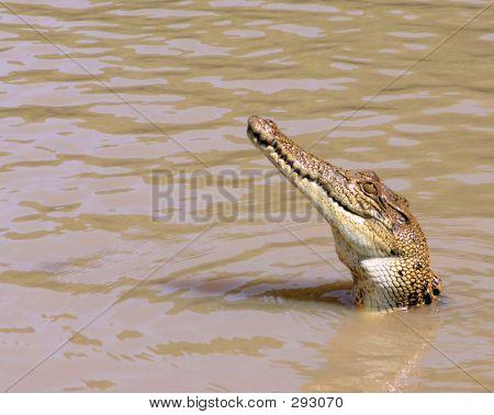 Curious Crocodile