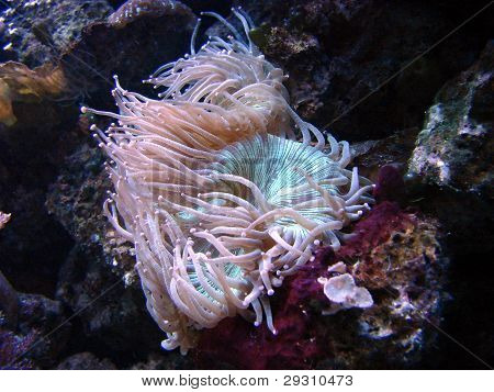 sea anemone pink blue in aquarium