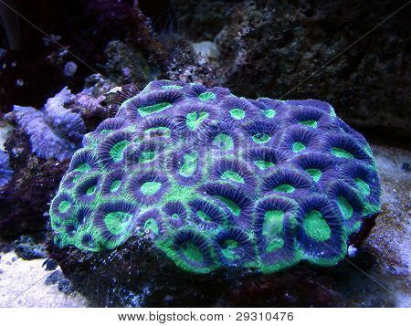 blue green sea anemone