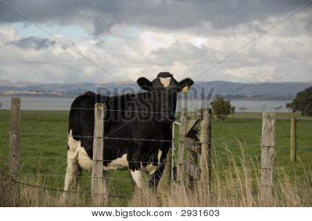 Cow In Paddock, Wairarapa, New Zealand