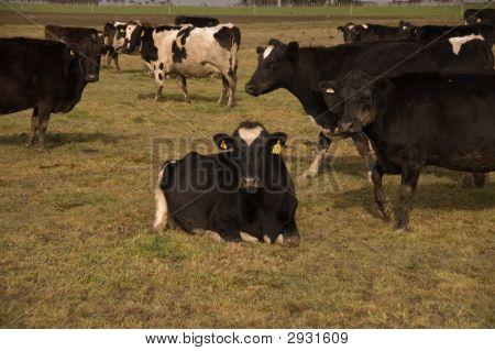 Cows In Paddock, Wairarapa, New Zealand