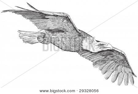 soaring eagle - sketch. Bitmap copy my vector