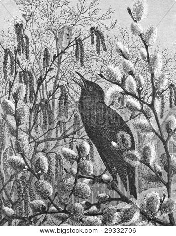 Starling. Engraving by Arland from picture by painter Schmidt. Published in magazine