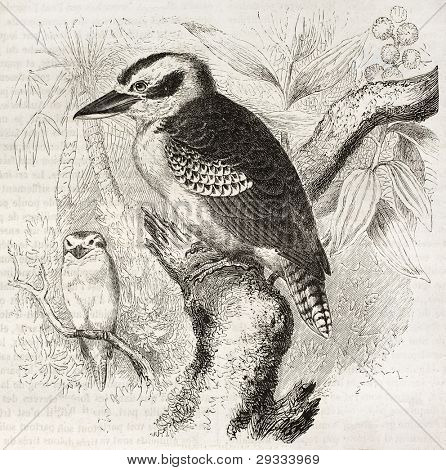 Laughing Kookaburra old illustration (Dacelo novaeguineae). Created by Kretschmer and Jahrmargt, published on Merveilles de la Nature, Bailliere et fils, Paris, ca. 1878