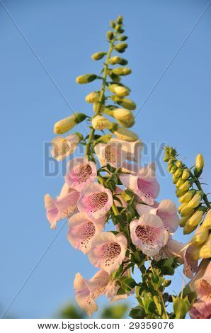 Spike Of Foxglove Flowers