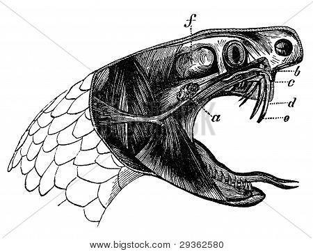 Viper Snake Vintage Illustration