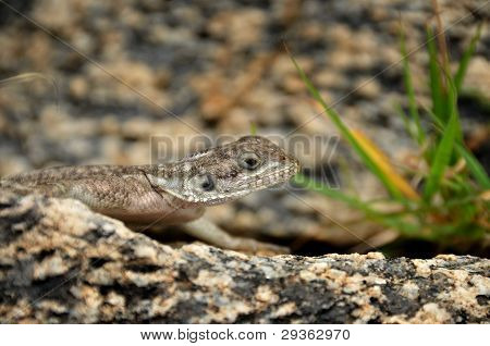 Close-up of an African Rainbow Lizard
