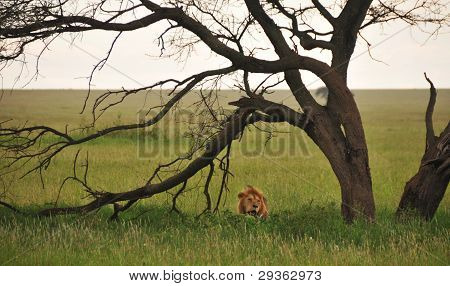 Wild lion in the tall grass