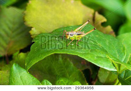 Colorful Bush-cricket