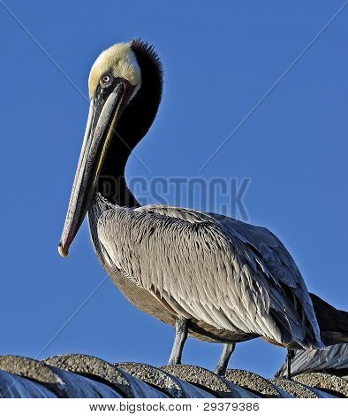 A California Brown Pelican