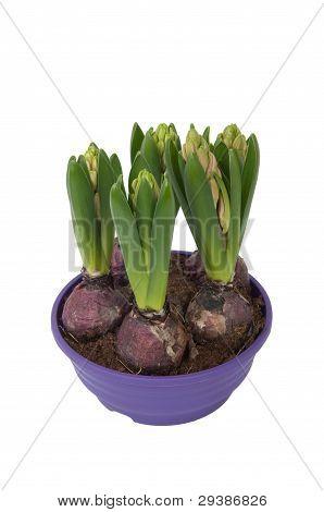 Hyacinthus Bulbous In A Pot (top View)