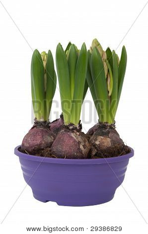 Hyacinthus Bulbous In A Pot