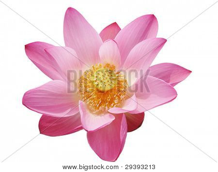 beautiful pink water lily, isolated on white background.