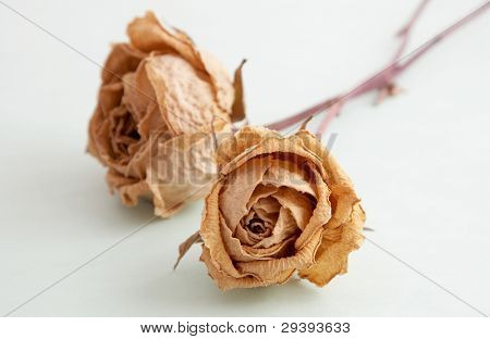 two yellow dead roses isolated on light green background.