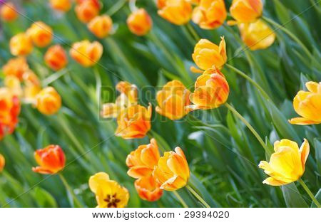 flowerbed of yellow spring bulb.