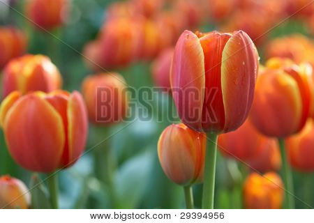 flowerbed of multicolored tulips