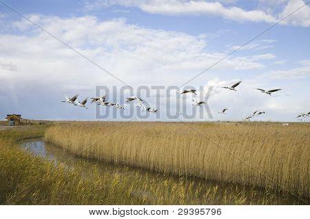 Cranes migrating over autumn marsh