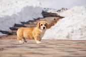 Cute Red Welsh Corgi Pembroke Puppy Walk Outdoor, Run, Having Fun In White Snow Park, Winter Forest. poster