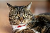 A Grumpy Looking Tabby Cat With Ears Pointed Backwards poster