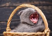 Scottish Fold Kittens. Kitty In The Basket Yawns. poster