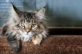 Young Kitten Breed Maine Coon Against The Window. Beautiful Kitty. poster