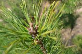 Pine Tree Branch With Kidney. Healthy Background. Pine Branch. Pharmacy And Remedy Concept poster