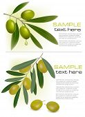 picture of olive branch  - Two backgrounds with green fresh olives - JPG