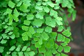 picture of gout  - closeup of maidenhair fern one of the most common fern species plants - JPG