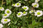 Spring Inflorescence Of Daisies Flowers #4 poster