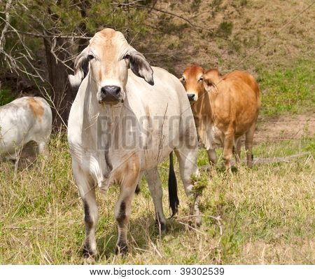 Cattle with cows steers bullock and bull