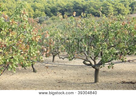 A pistachio tree grove in the Greek island of Aegina, which is renowned for the quality of its nuts.