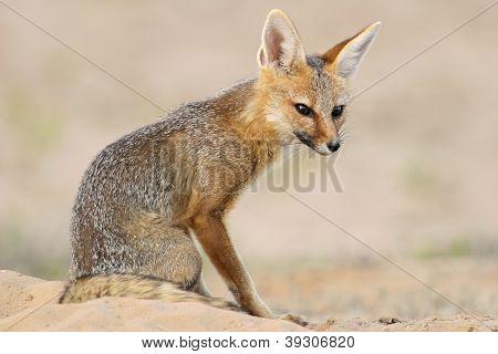Cabo Fox