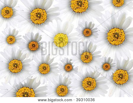 Fresh Chamomile Flowers In Full Blossom Background