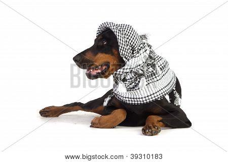 Dobermann Dog In Black Kufiya