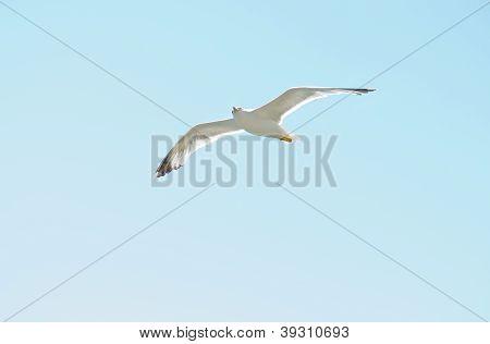 European Herring Gull (larus Argentatus)  In  Blue  Sky