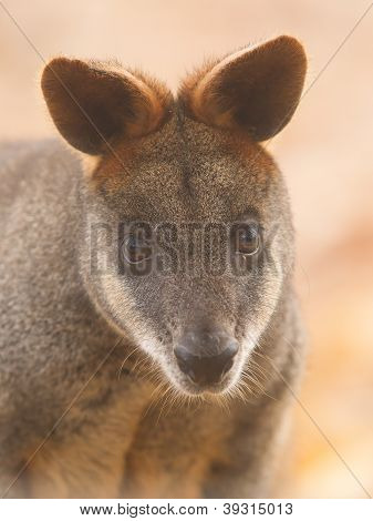 Close-up Swamp Wallaby
