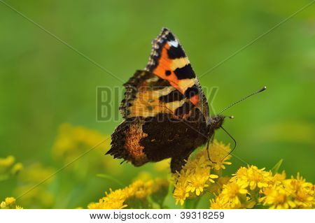 Beautiful butterfly(Vanessa atalanta)