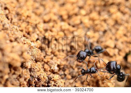Soldier Ant Formica In Macro